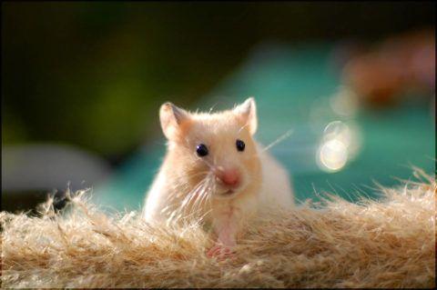 キンクマ ハムスターで人気の10種類を紹介 飼いやすい種類や値段 性格を知ろう Woriver ハムスター かわいいハムスター 動物の壁紙
