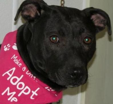 Meet Sierra - Urgent, a Petfinder adoptable Pit Bull Terrier Dog | Mansfield, OH | Hi there, the staff at the shelter named me Sierra. I came to the shelter as a stray on 1/5/15. I...