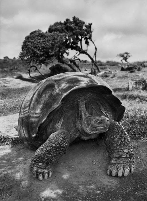 #TartarugaGigante, #Galapagos - pesa fino a 250 kg, raggiunge dimensioni fino a 1,5 m e può vivere oltre 150 anni #Genesis #Venezia #SebastiaoSalgado #Photography #Photographer #CasadeiTreOci From Glob-Arts