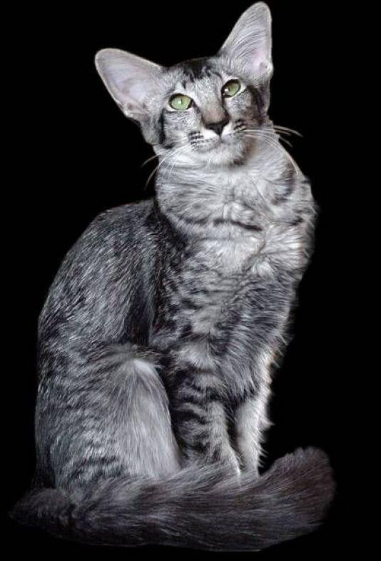 Yazoo Vin Tu Black Silver Mackerel Tabby Oriental Longhair Beautifulcats Beautiful Cats Silver Bicolor Cat Oriental Shorthair Cat Breeds