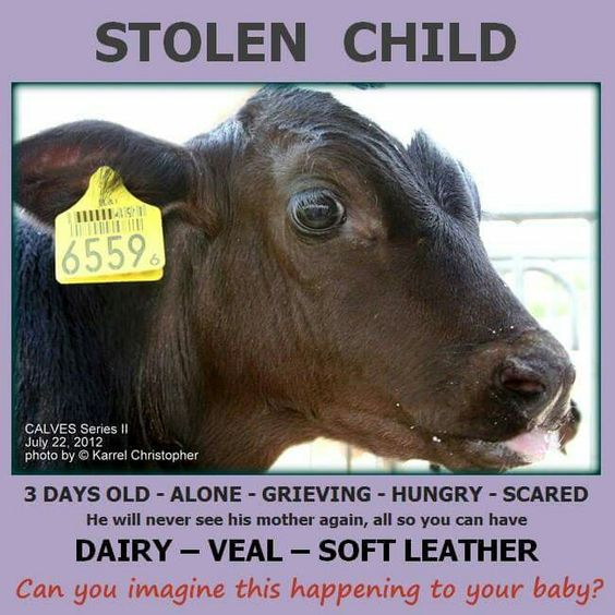 # milklife dairy is a violation of the teproductive organs and infant genocide is a byproduct of the depraved tradition of stealing milk from the mouths of babes. Their is no moral distinction between consuming flesh and consuming the products of suffering ie dairy, eggs, wool, leather, fur, honey. All use is abuse. Veganism is the only ethical choice.