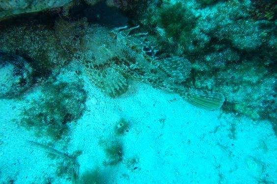 Faune marine à Cap Croisette, à l'est de Marseille : nombreuses rascasses (ou chapons = grosses rascasses, de la famille des scorpaenidés).