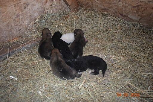 Wolf Hybrid Puppy For Sale In Odessa Tx Adn 64468 On Puppyfinder