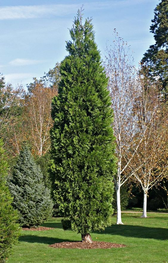 Pin On Fastigiata Trees And Columnar Trees Narrow Trees To Plant Where Space Is At A Premium