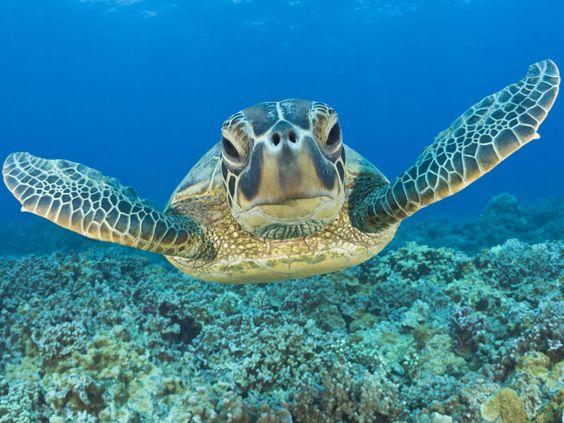 Green Turtle, Maui, Hawaii