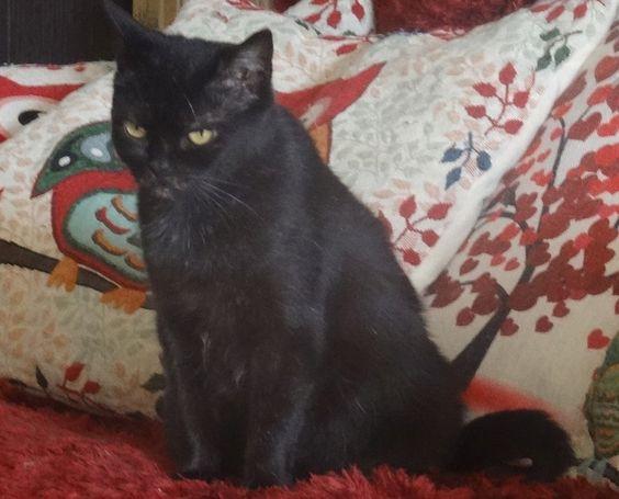 Adopter Moyen chat Senior - La patte de l'espoir - Yvelines - Chat domestique poil court - SecondeChance.org