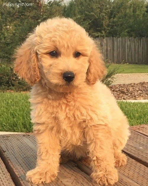 Christmas Golden Doodle Puppies 973 602 9023 Vg For Sale Goldendoodle Association Of North America Commit Goldendoodle Puppy Goldendoodle English Goldendoodle