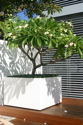 extra large planters frangipani love this idea. Black Bedroom Furniture Sets. Home Design Ideas