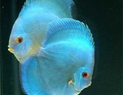 Blue Diamond Discus Fish Blue Discus Fish Discusguy Discus Fish Discus Fish For Sale Discus