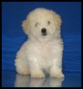 #maltipoo #cute #dog