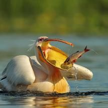 Pelican catches a fish!