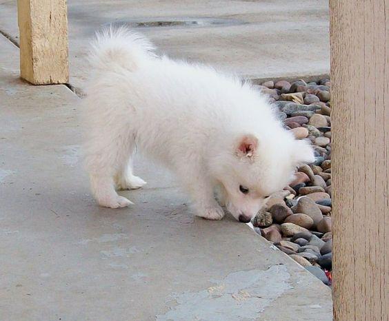 Seveer Rm Jreeves On Deviantart American Eskimo Puppy