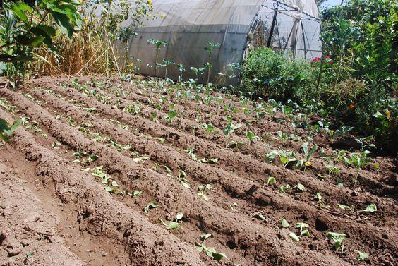 plantação de hortaliças, consoante as culturas vão terminando vamos plantando as hortaliças para o Inverno e assim também conseguimos ter hortaliças em vários estado de maturação