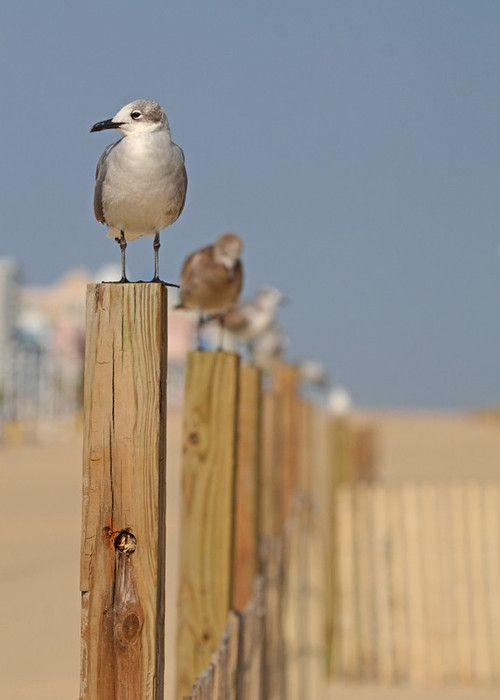 Seagulls on a sand dune at the beach by the ocean under a blue sky. For the BEST coastal inspiration FOLLOW now: http://www.pinterest.com/happygolicky/beach-beach-beach-off-to-the-coastal-chic-cottage-/: