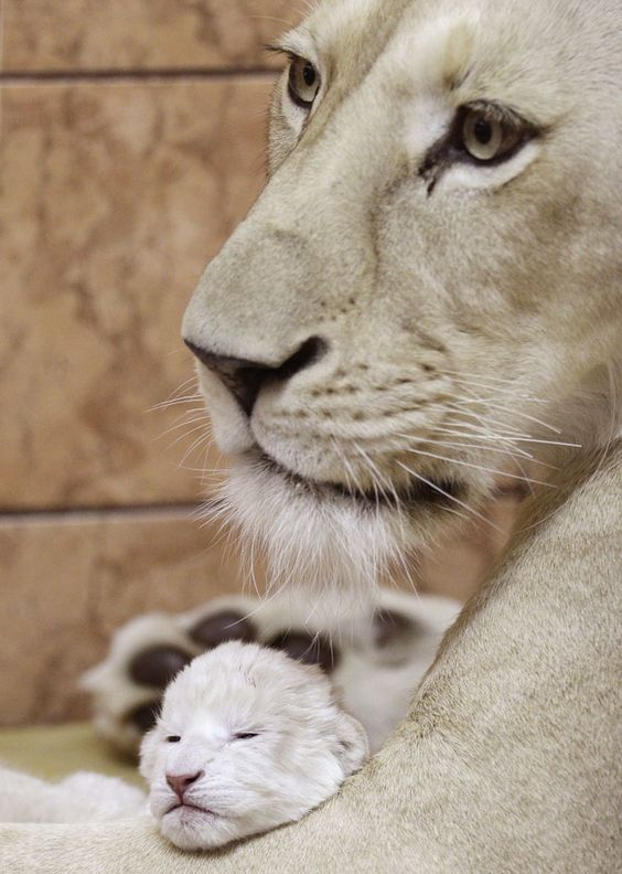 A white lion cub two days old with his mother, Sumba,  Belgrade Zoo in Serbia