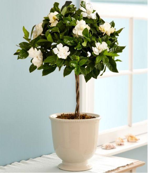 Cultivar gardenias en maceta funny y gardenias - Cuidado de hortensias en maceta ...