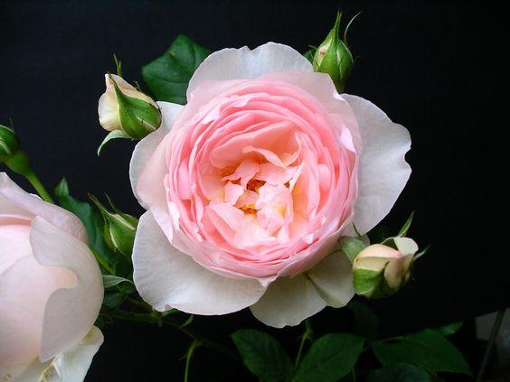 Offene Rosenblüte mit Knospen