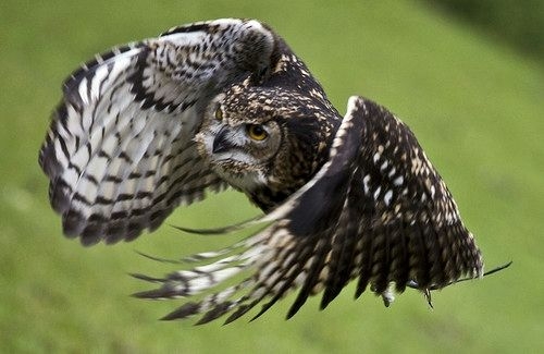 Mackinder's Eagle Owl