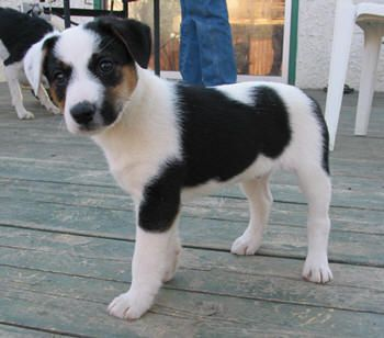 Border Collie / Jack puppy - guessing he's going to be scary smart when he grows up