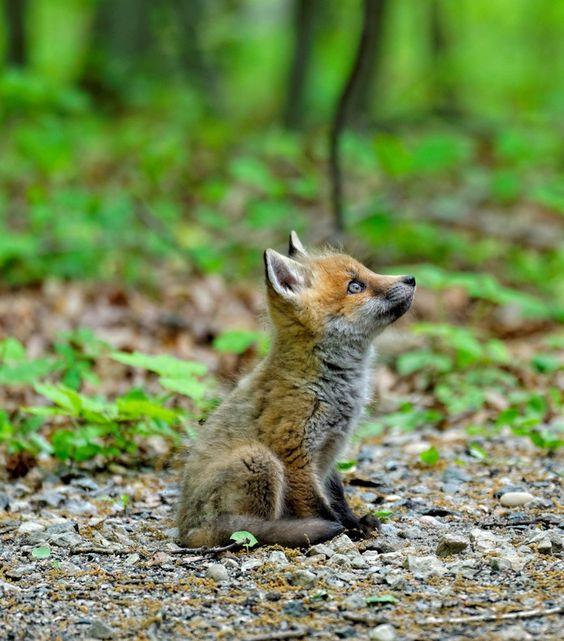 """Ce bébé renard regarde le ciel. Veut-t-il volé? S'amuser avec les oiseaux? Il rêve surement d'aventures et se dit: """"Vivement que je sois grand et que je puisse accomplir de grandes choses!!!"""""""