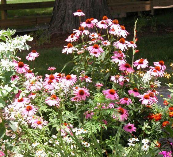 10 no fuss perennials for the lazy gardener gardens for No maintenance plants perennials