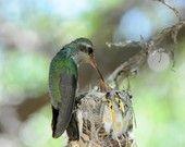 Le colibri choisit de nidifier à un endroit stratégique de surveillance, permettant à la femelle de protéger ses petits en se lançant à la poursuite de tout intrus qui s'approchera...