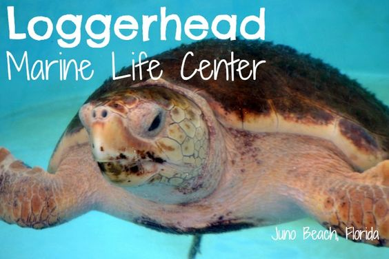 This was a great place to visit for the entire family: Loggerhead Marine Life Center in Juno Beach, Florida ...