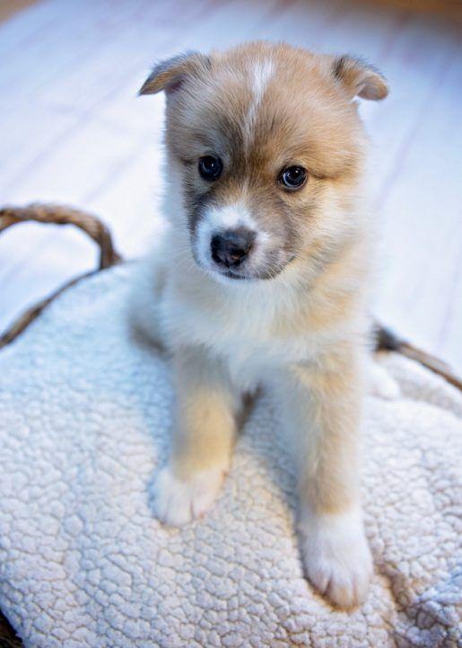 Aww Donner F2 Male Pomsky Pomsky S Vip Puppies Puppies Puppies For Sale Puppies Near Me