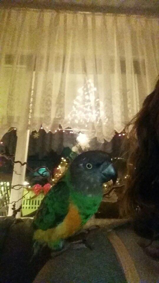 Mein Jacko,Mohrenkopfpapagei / Senegal Parrot