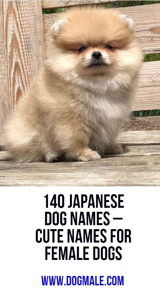 140 Japanese Dog Names Cute Names For Female Dogs Dog Names