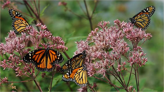 """The Monarch Butterfly is one of the most beautiful of all butterflies, some say, and are considered the """"king"""" of the butterflies, hence the name """"monarch"""". The monarch (Danaus plexippus) is a milkweed butterfly (subfamily Danainae), in the family Nymphalidae. The butterfly is sometimes called the """"milkweed butterfly"""" because its larvae eat the plant. Adult female monarchs lay their eggs on the underside of milkweed leaves. With its bright colours, large size, and slow powerful flight, the…"""