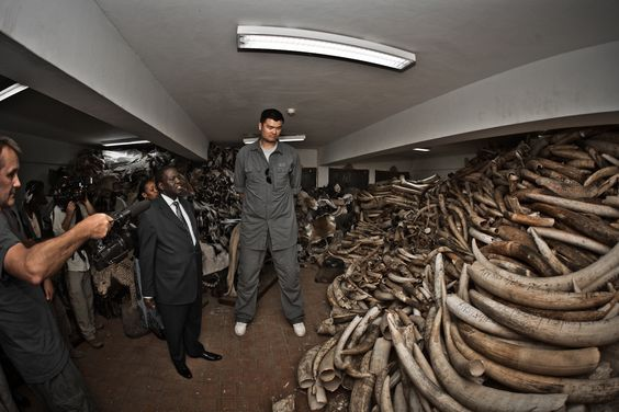 Yao Ming and a stockpile of Illegal  Ivory from poachers at Kenya Wildlife Service