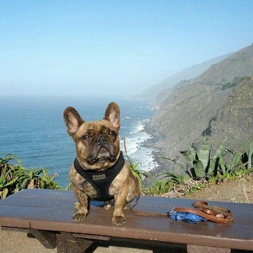 Adopt french bulldog hawaii