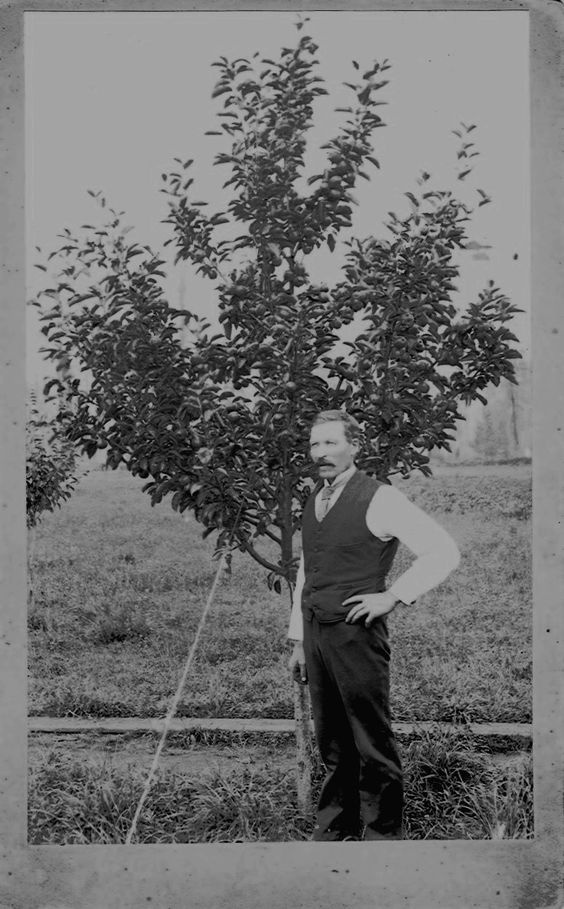 Anders Myklebost standing by a fruit tree--taken about 1900 in Montesano, Washington.