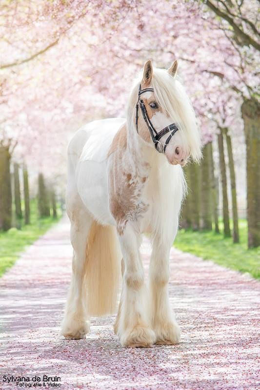 Gypsy Vanner in beautiful creamy white color and tan. Gorgeous coloring. Standing on a pink flowered covered lane from flowering trees. Beautiful horse photography! Sweet horse.