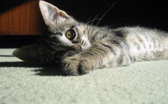 Poils de chat sur la moquette
