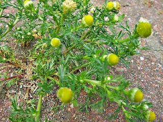 The Medicinal Properties of Chamomile (Pineappleweed)