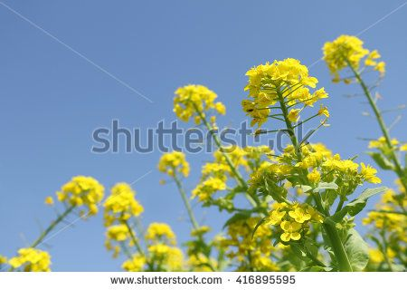 field mustard flowers and blue sky - stock photo