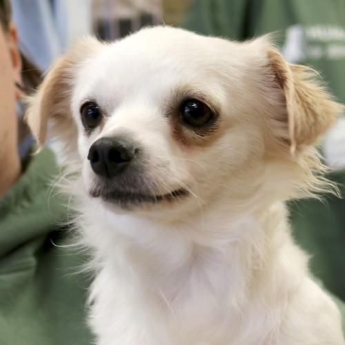 Hi I M Milly I M A 3 Year Old Spayed Female Yellow Chihuahua