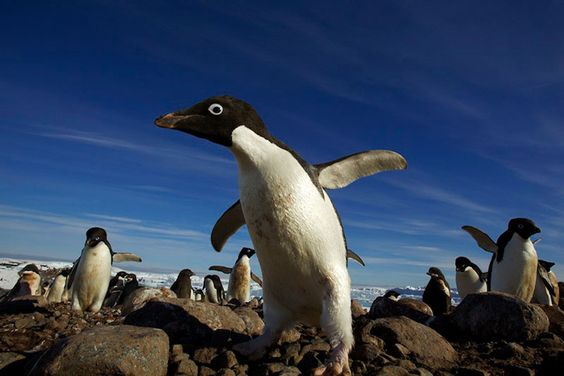 Ice and Penguins by Tim Laman 5