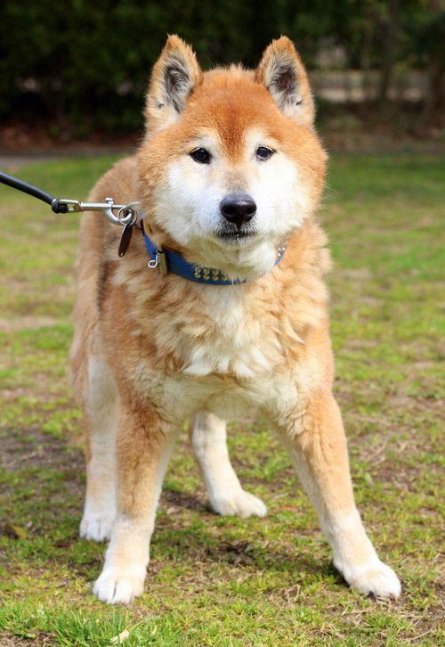 犬 柴 茶 メス 推定14歳 体重11 8kgの画像 犬 猫 ねこ