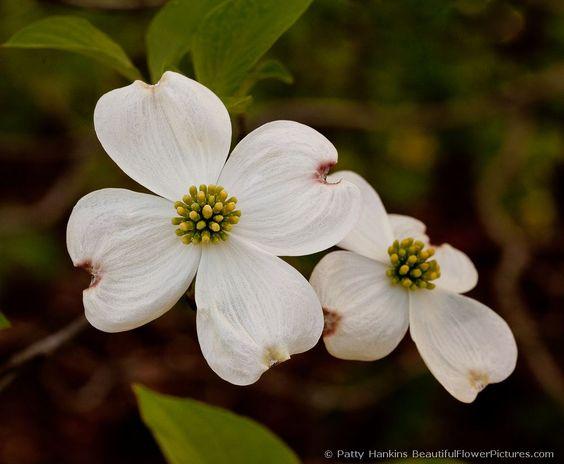 American Dogwood  © 2010 Patty Hankins  Cornus Florida  Two beautiful white dogwood blossoms