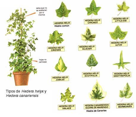 Dibujo de plantas medicinales con su nombre imagui - Plantas de interior nombres ...