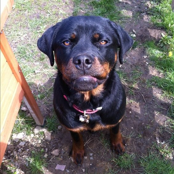 Shadow with a sarky look #rottie #dog