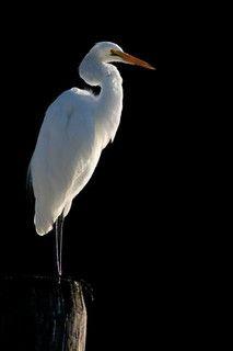 Great Egret in Morning Light | Joni McCool