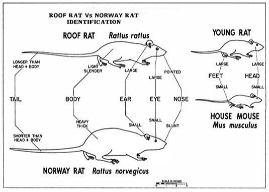 Learn The Best Way To Get Rid Of Rats In Your Attic Or Home In 2020 Getting Rid Of Rats Rodent Control Humming Bird Feeders
