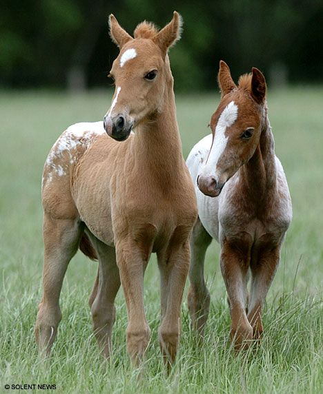 Pony gives birth to twins - A 22-year-old New Forest Pony has shocked equine experts with the surprise birth of healthy twin foals.  The chances of a mare giving birth to healthy twin foals are about 1 in 10,000.  The two twins, Bess and Royal, can thank their father for their distinctive white markings and have been registered as First Cross New Forest/Appaloosa ponies.