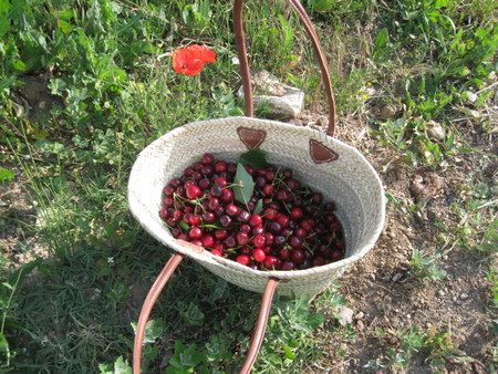 Cherry picking in the South-East of France