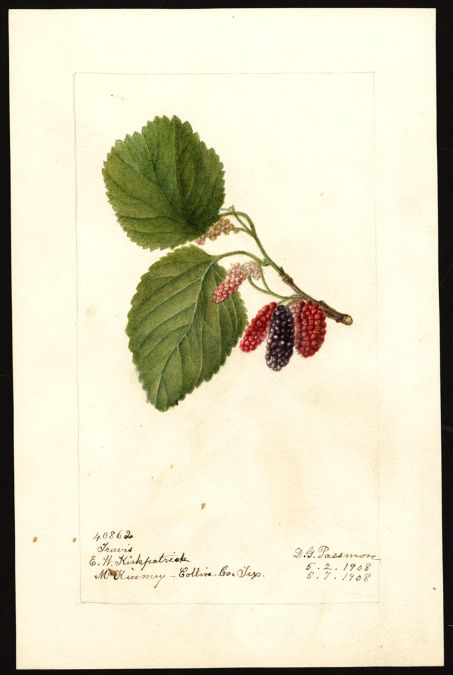 Artist: Passmore, Deborah Griscom, 1840-1911 Scientific name: Morus Common name: mulberries Variety: Travis Geographic origin: McKinney, Collin County, Texas, United States Physical description: 1 art original : col. ; 17 x 25 cm. Specimen: 40862 Year: 1908 Date created: 1908-05-07