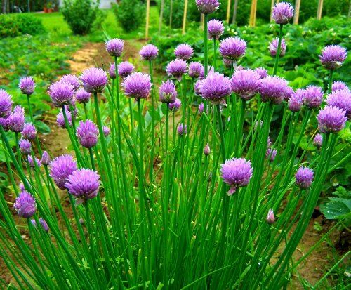 How To Grow Chives From Seed Growing Chives Medicine Garden Seeds